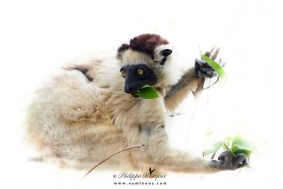 Verreaux's sifaka chewing on fresh leaves