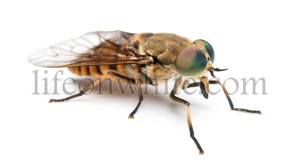 Side view of a Horsefly, Tabanus, isolated on white