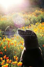 Black Lab Mutt Sitting in Flower Field with Sunburst Looking Away