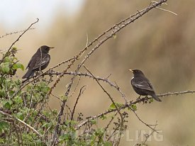Ring Ouzel, Turdus torquatus migrant in dunes at Gun Hill, Burnham Overy, Norfolk, April