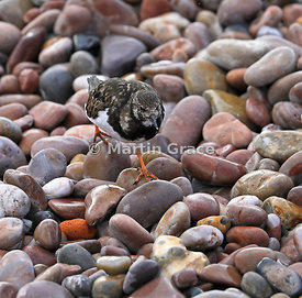 Ruddy Turnstone (Arenaria interpres) in winter plumage on the pebble beach at Sidmouth, Devon, England