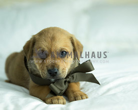 Tan puppy wearing a chocolate bow lays on white bed with paws forward