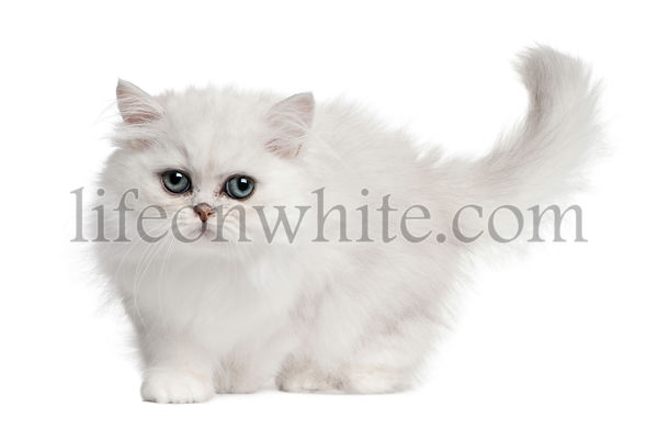Persian cat, 3 months old, walking in front of white background