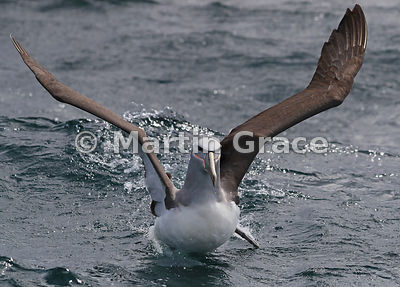 Salvin's Mollymawk (Salvin's Albatross) (Thalassarche salvini) landing on the water, Stewart/Rakiura & Ulva Islands, South Is...
