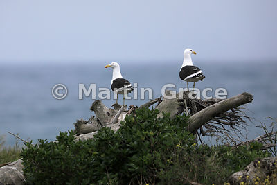 Two Southern Black-Backed Gulls (Larus dominicanus dominicanus) on sentry duty by the breeding colony on Kapiti Island, Haura...