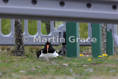 Eurasian Oystercatcher (Haematopus ostralegus) sitting on her nest in the middle of the Highland Wildlife Park car park, Kinc...