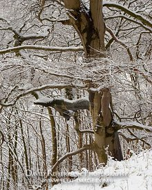 Image - Tree in winter snow, Wood Hill Wood, Alva, Clackmannanshire, Scotland.