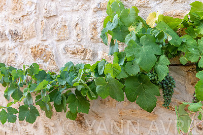 Vine (Vitis vinifera) on country stone wall, summer, Lot, France ∞ Vigne sur mur de pierre de pays, France, Lot, été