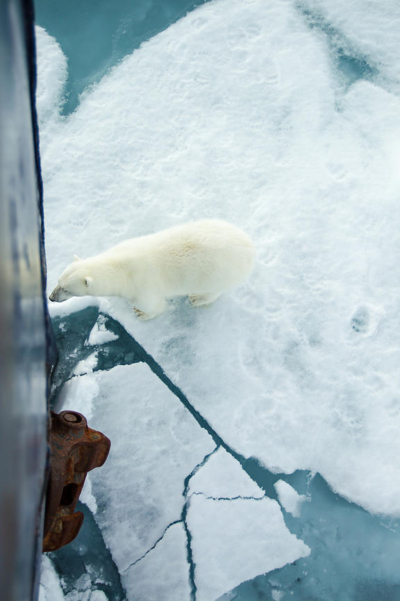 Polar Bear Meets MS Malmö - Svalbard 2015