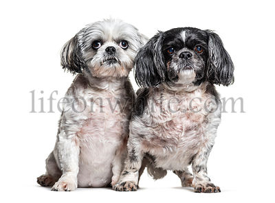Two Shih Tzu dogs in a row, isolated on white