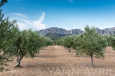 Olive grove in Provence, France