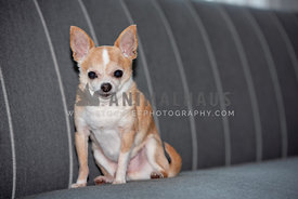 close up of older teacup chihuahua sitting on gray sofa