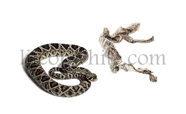 Crotalus atrox, western diamondback rattlesnake or Texas diamond-back, venomous snake with shed skin against white background
