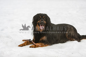 big black dog laying on the snow with a stick