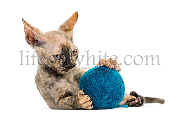 Devon rex with a wool ball isolated on white