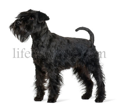Schnauzer, 16 months old, standing in front of white background