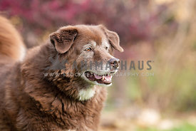close up of smiling brown chow mix looking away