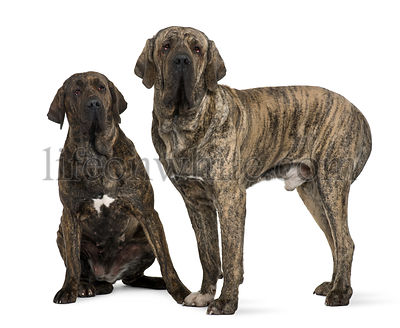 Brazilian Mastiff or Fila Brasileiro dog, 19 months old, in front of white background