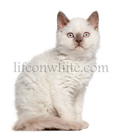 Selkirk Rex kitten, 11 months old, sitting in front of white background