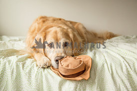 Golden retriever with hat toy on bed looking to straight