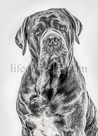 Close-up of a Cane Corso looking at the camera