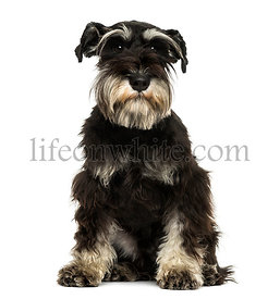 Front view of a Miniature Schnauzer sitting, looking at the camera,  1 year old, isolated on white