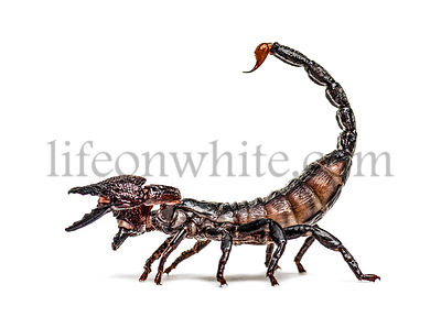 Emperor scorpion defending, Pandinus imperator, isolated