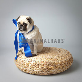 Sad and funny pug with a giant blue bow poses on a basket in the studio on a gray background