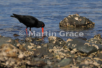 Dark morph Variable Oystercatcher (Black Oystercatcher) (Haematopus unicolor) feeding by the shore at Tiritiri Matangi, Haura...