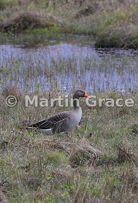 Greylag Goose (Anser anser)in front of a small lochan, Badenoch & Strathspey, Highlands of Scotland