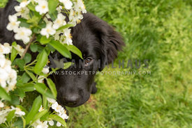 A newfoundland puppy peering out from the blossoms of a crabapple tree