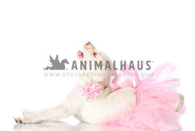 Cream Laborador Puppy wearing pink tutu and pink flower collar laying on white barking with head back