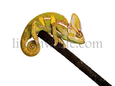 veiled chameleon on a branch isolated on white