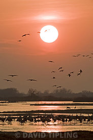 Sandhill Cranes Grus canadensis arriving at roost on River Platte Nebraska USA April