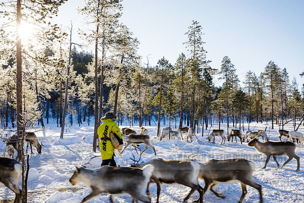 Reindeer herder Petri Mattus bringing additional food to his herd