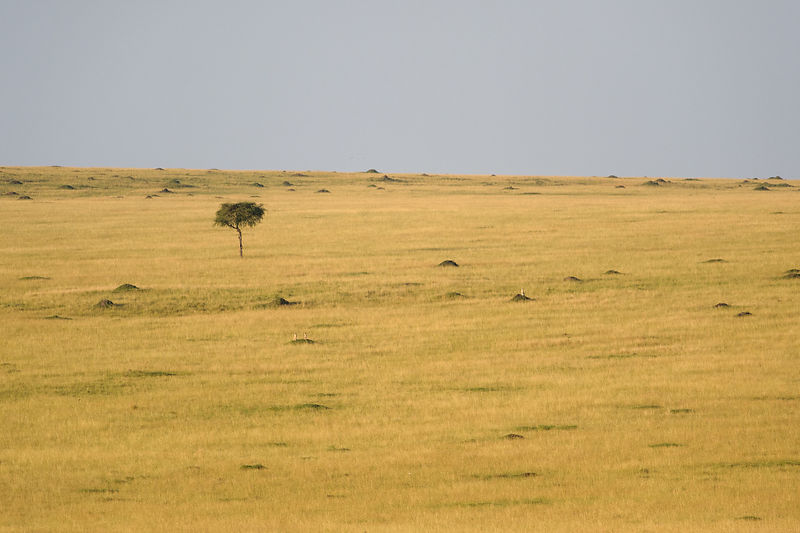 First sight of the 3 cheetahs
