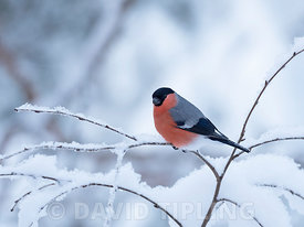 Eurasian Bullfinch  Pyrrhula pyrrhula male in snow