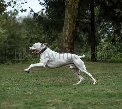 Dogo Argentino, 2 years old, running in park