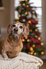 Brown Senior Dachshund sits in front of the Christmas Tree