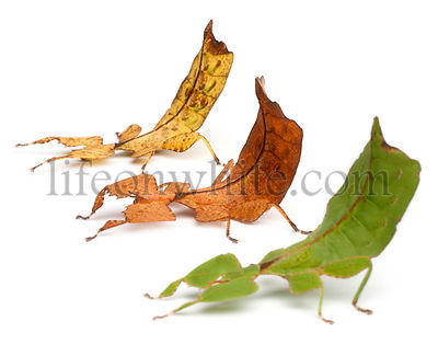 Phyllium Westwoodii, three leaf insects, in front of white background