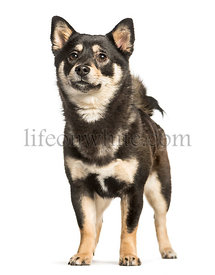 Shiba inu, 11 months, standing against white background