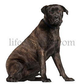 Bullmastiff, 8 months old, sitting in front of white background