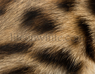 Macro of a Bengal kitten\'s fur, 4 months old, isolated on white
