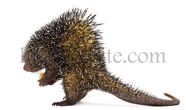 Side view of Brazilian Porcupine, Coendou prehensilis, standing in front of white background