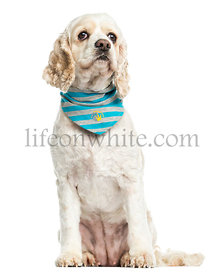 American Cocker Spaniel wearing a bandana, sitting, 3 years old, isolated on white