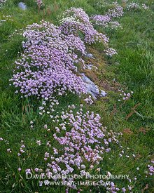 Image - Wildflowers.  Thrift, Armeria maritima, Mull of Oa, Isle of Islay, Argyll, Scotland