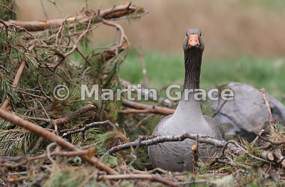 Greylag Goose (Anser anser) sitting in the side of a heap of Scots Pine (Pinus sylvestris) brash, Badenoch & Strathspey, High...