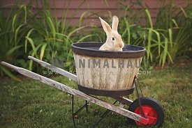 Yellow bunny in wheelbarrow