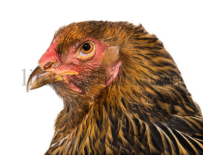 Brahma hen, close up against white background