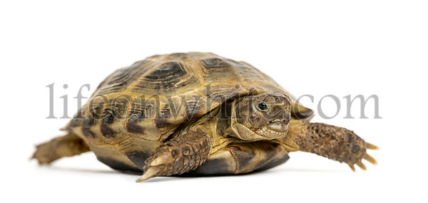 Turtle walking, isolated on white
